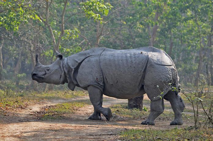 Rhinos in Assam