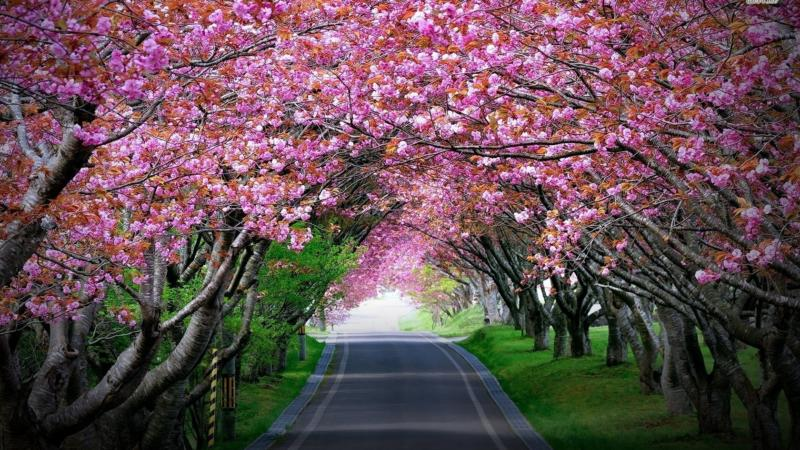Indias first ever Cherry Blossom Festival started in Shillong