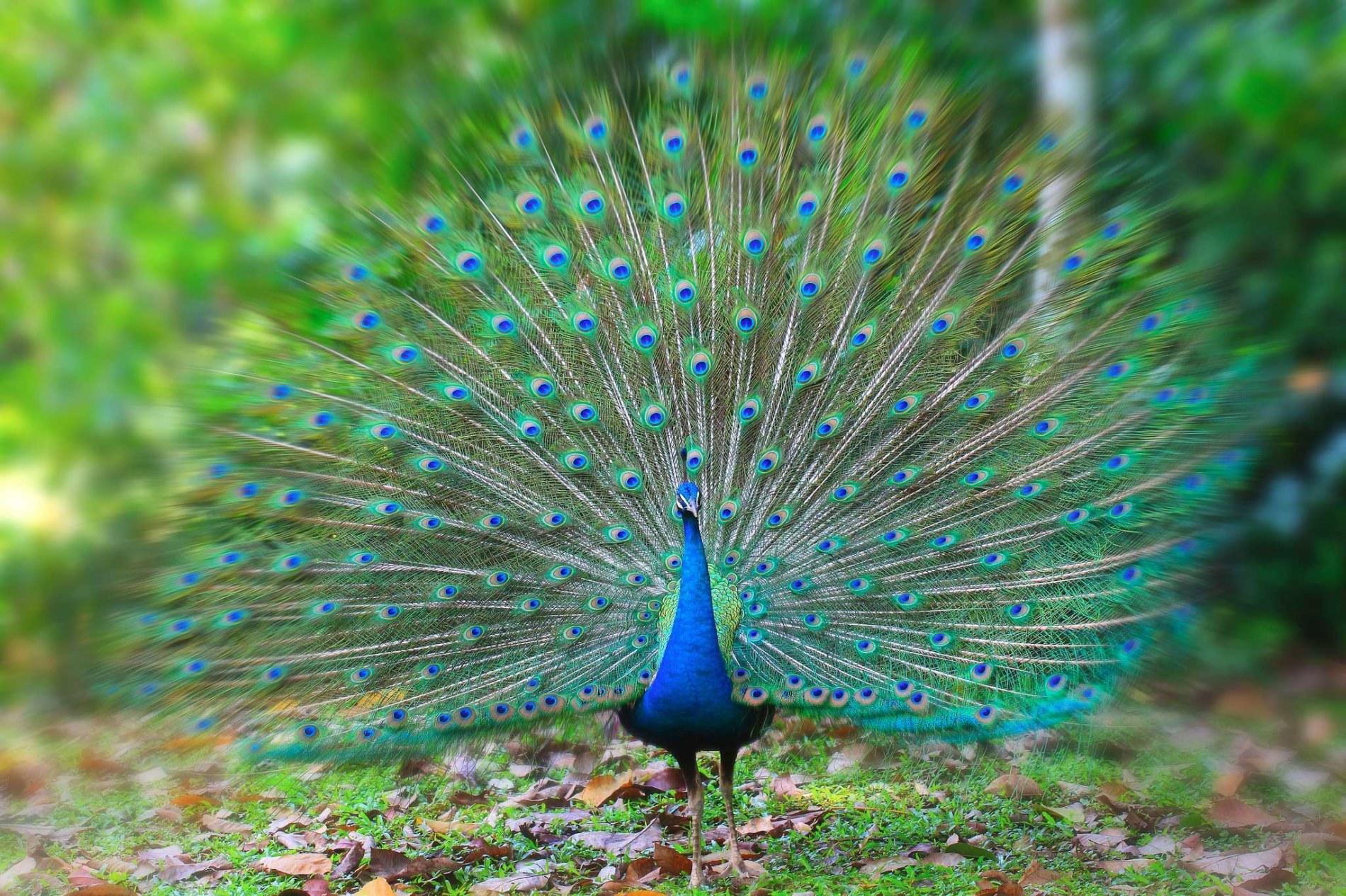national bird of india | indian national bird | peacock | ritiriwaz