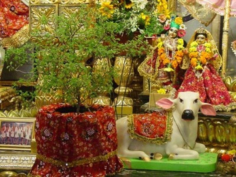 India's Holy Basil – Tulsi