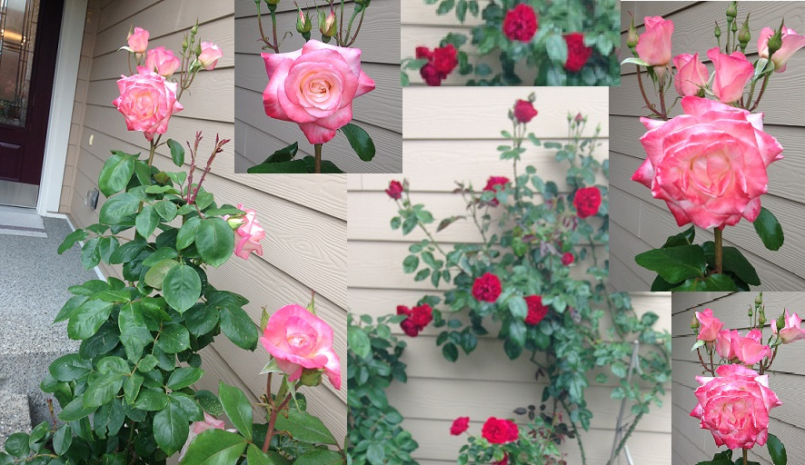 How to Grow Rose Plant from the Stem Cutting
