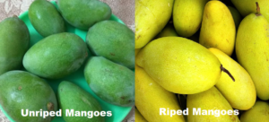 Mangoes ripe and unriped