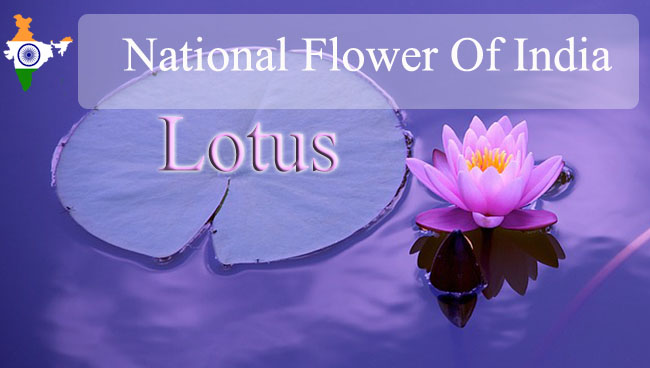 National Flower Of India | Lotus