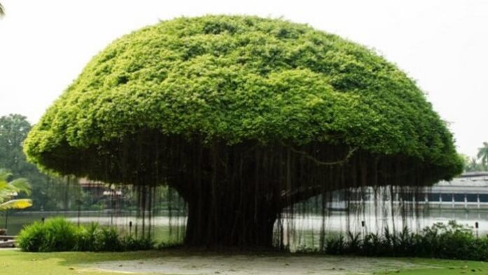 The National Tree of India
