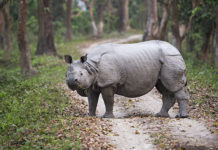Indian one horned rhino