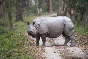 Indian one horned rhino