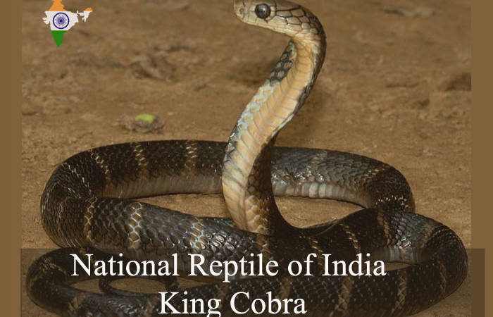 National Reptile of India | King Cobra