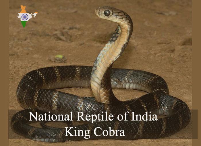 National Reptile of India | King Cobra