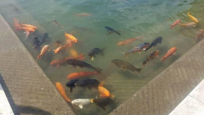 Fish in Amrit Lake